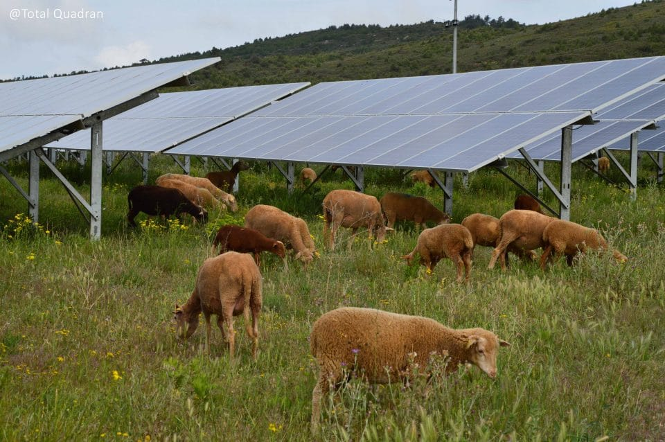 Moutons agrivoltaïsme